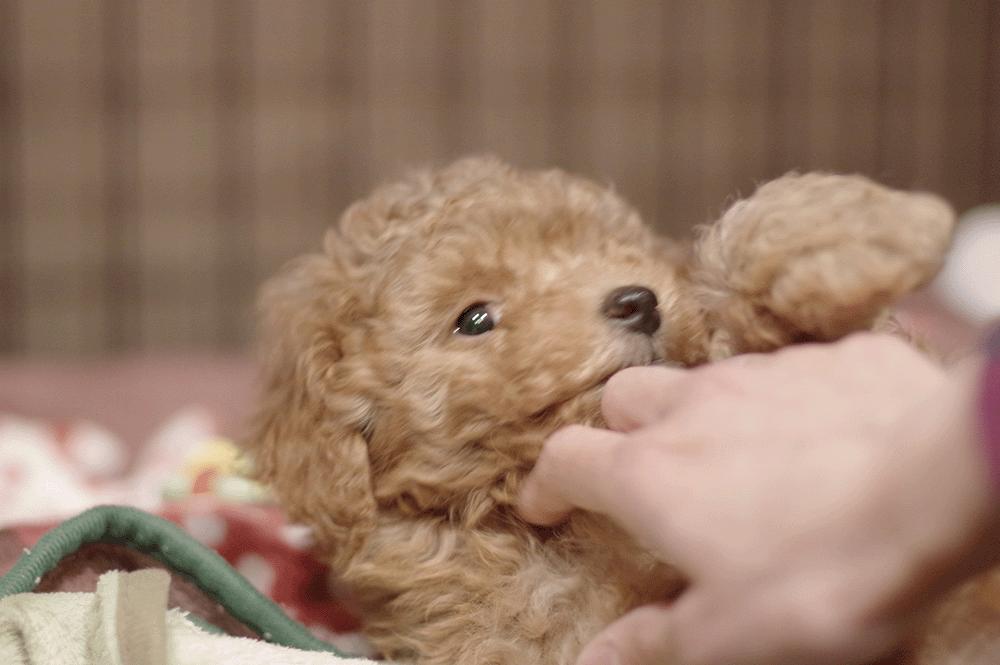 甘噛み 子犬