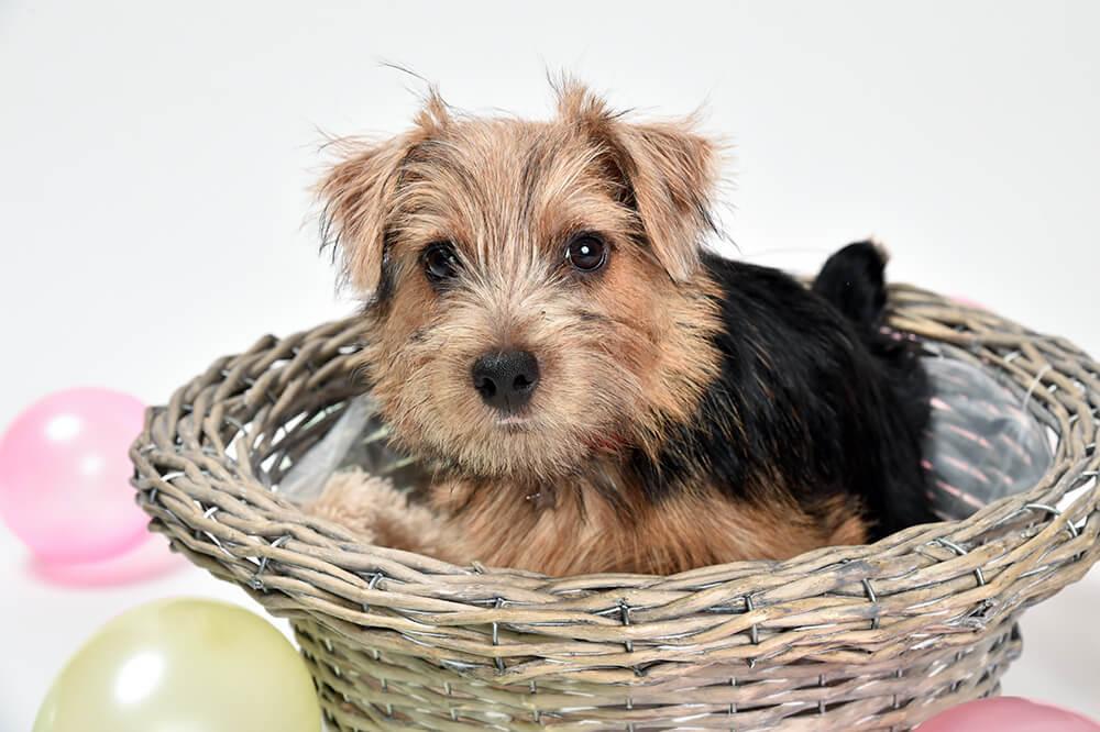 ノーフォークテリア子犬