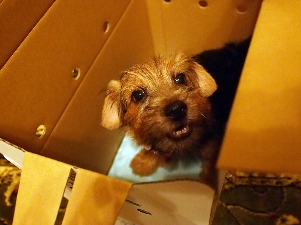 箱の中の子犬