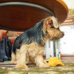 ノーフォークテリア 子犬