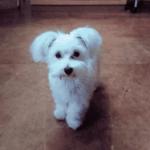 マルチーズ 子犬