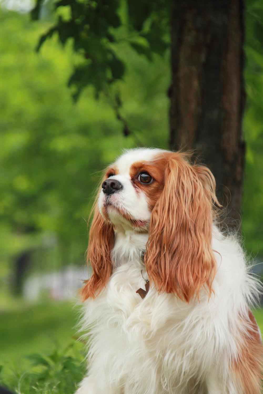 子犬の育て方 キャバリア・キング・チャールズ・スパニエル 子犬 しつけ