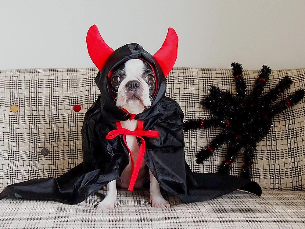 悪魔のコスプレをする犬
