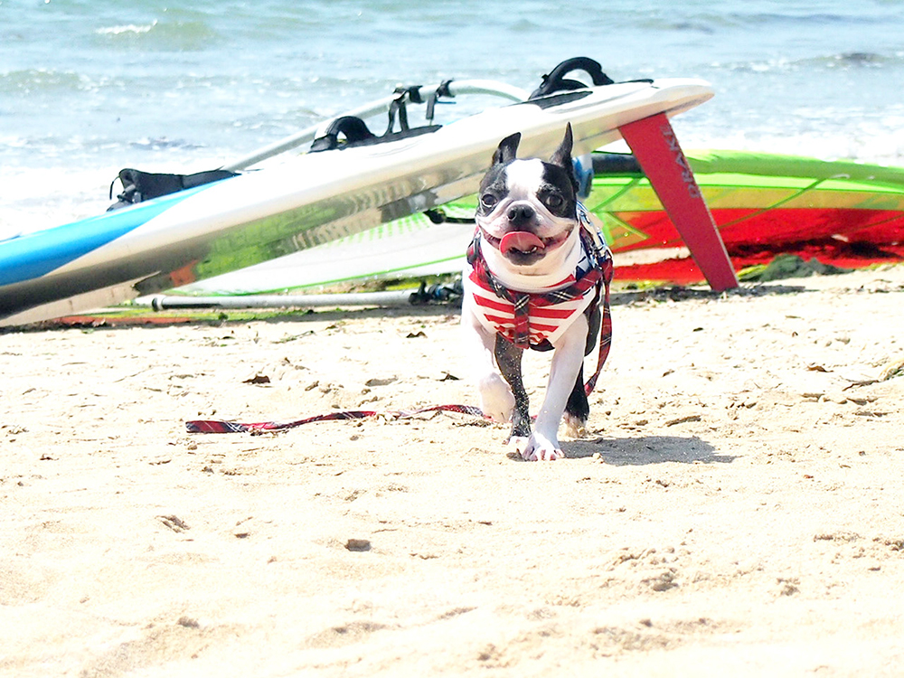 熱い海辺でサーフィンから帰ったフレンチブル