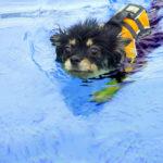 犬 サマーカット 夏 暑い トイプー トイプードル