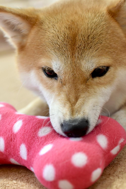 おもちゃをくわえた犬