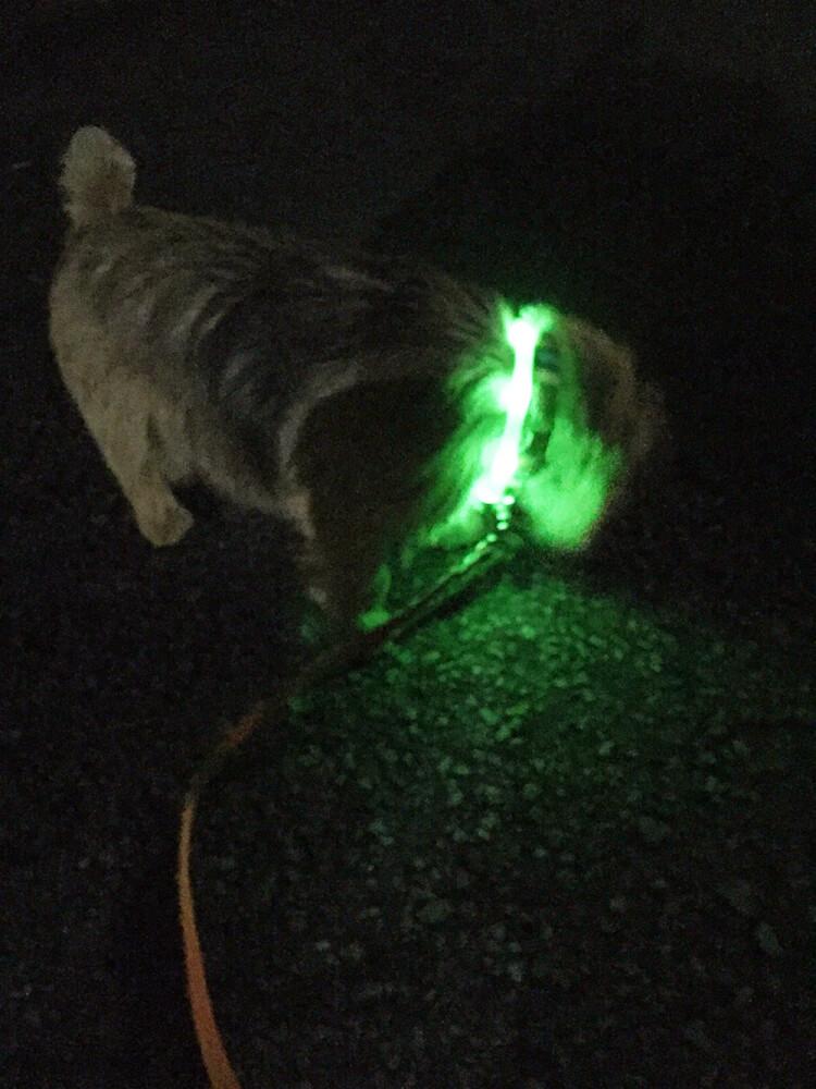 光る首輪をつけた犬