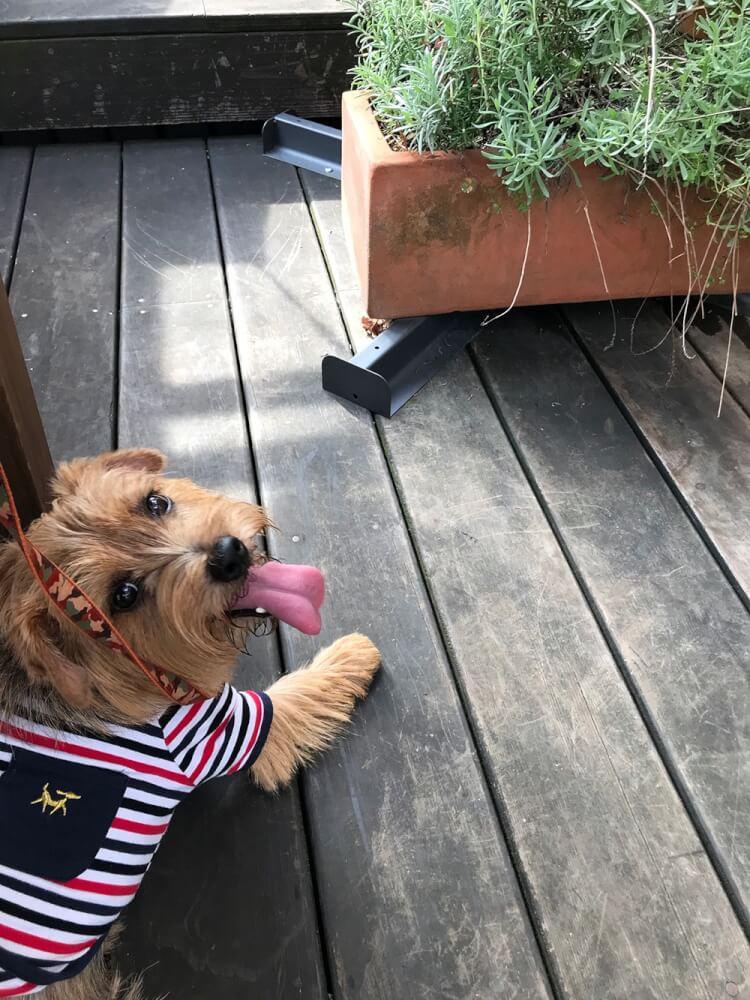 犬服をきたノーフォーク