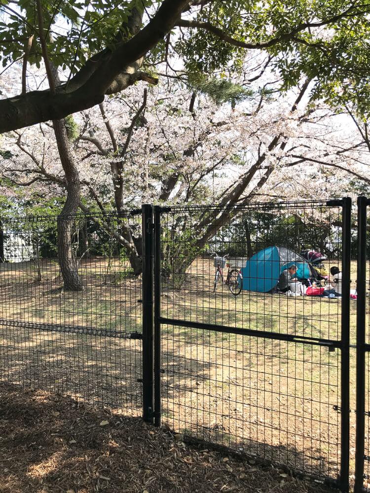 金網越しの桜が満開