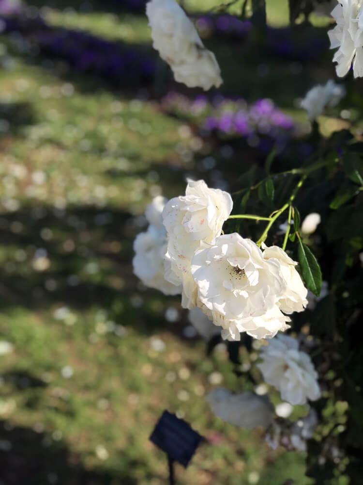 山下公園 バラ