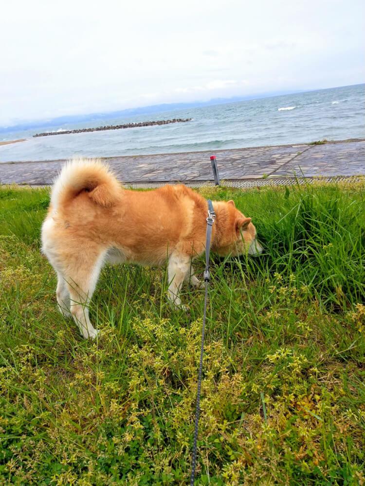 草の匂いをかぐ犬
