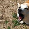 犬が散歩前に吠えるのをやめさせたい