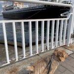 氷川丸と犬