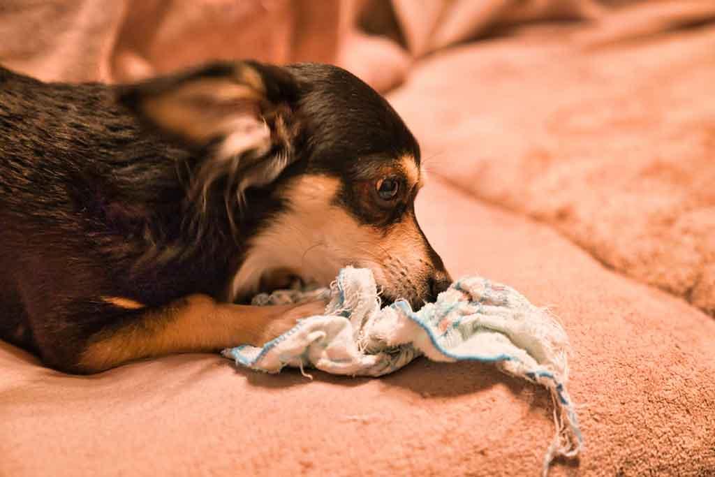 布を破壊する犬